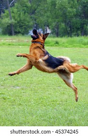 Shepherd dog jumping