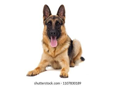 shepherd dog lies isolated