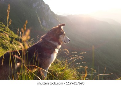 Shepherd dog looking towards the setting sun amidst tall grass in the Pyrenees mountains, South of France