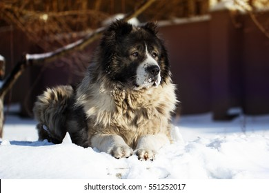 Shepherd Dog is lying outside on a cold winter day with snow on his face. Caucasian sheepdog in winter time.Adult Caucasian Shepherd dog.