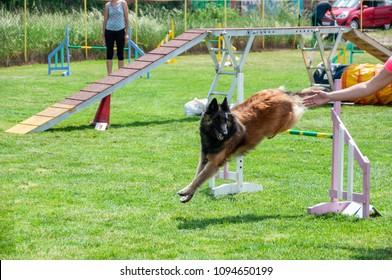 Shepherd dog on agility field for dogs, training and competing, jumping over obstacles, crossing over balance ramp, running slalom, passing through the tunnel ...