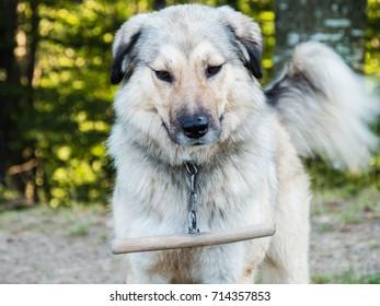 Shepherd dog in Romania
