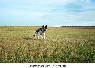 Shepherd Dog running across a field, outdoor shot