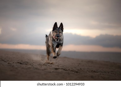 a shepherd dog runs on the beach. Pet on the nature