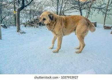 shepherd dog in snowy village
