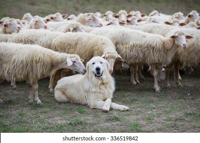 A shepherd dog in a tenderness moment with the sheep he guards. Boss, praising, gratitude, obedience, love, friendship, leadership, followers concepts.