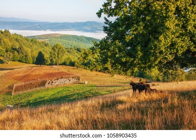 Shepherd dogs watching over sheep enclosure in the mountains of Transylvania