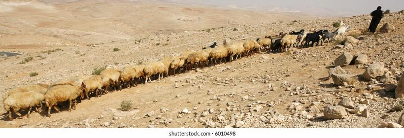 A shepherd with flock