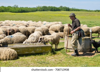 shepherd is giving a water to the flock of sheep