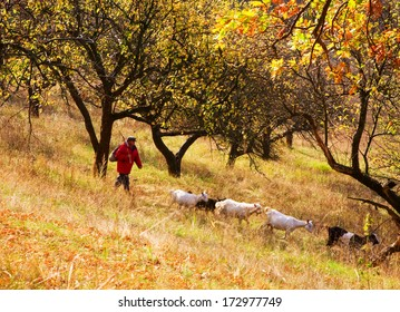 The shepherd with goats moves on a wood glade