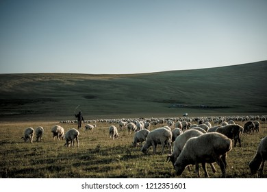 shepherd herding his flock of sheep at sunset