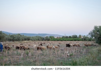 Shepherd keeps his sheep in a field of artichokes at a rural area.