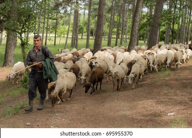 A shepherd keeps his sheep in the local forest