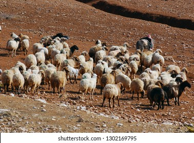 A shepherd lead his sheep on their daily walk for food and water to pasture