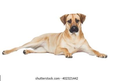 Shepherd Mongrel breed dog lying sideways and looks beige brown
