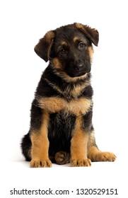 shepherd puppy isolated