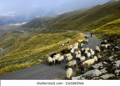 A shepherd shepherds sheep on a road in the mountains of Montenegro