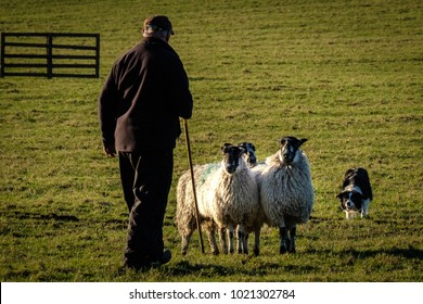 Shepherd with working border collie sheep dog herding sheep