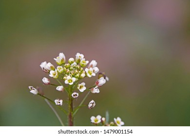 Shepherd's Purse is a medicinal wild herb that is common in pastures and grasslands in summer, a beautiful close-up of white flowers and buds.