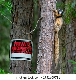 Sherman's fox squirrel (Sciurus Niger Shermani), Florida native, protected and threatened, black and tan colors, long bushy tail, on pine tree with no trespassing sign, selective focus