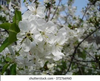 Sherry blossom
