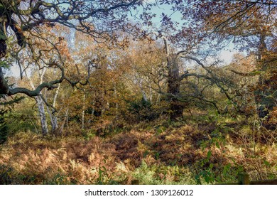 Sherwood Forest in Autumn colors, famous for folklore Legend Robin Hood.Seen here in full Fall color in this ancient deciduous Oak and Beech woodland in North Nottinghamshire,UK.