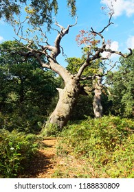 In Sherwood Forest a short path between the brambles leads to two, twisted, gnarled, ancient oak trees standing under a blue sky