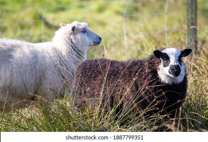 A Shetland breed sheep known for its fine wool and hardiness.