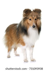 shetland dog in front of white background