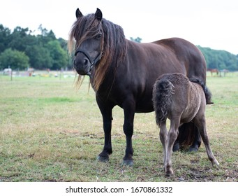 a shetland foal drinking with its mother