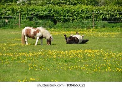 Shetland ponies, U.K. Frollocking horse in Spring.