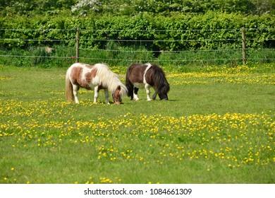 Shetland ponies, U.K. Small horses on a Spring pasture.