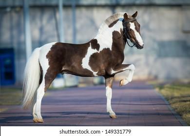Shetland pony.