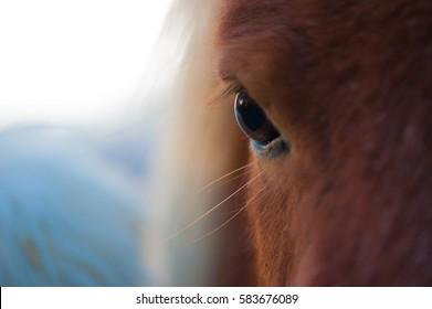 Shetland Pony Close Up