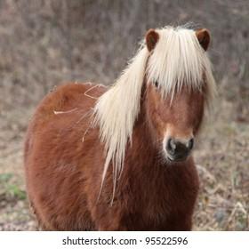 Shetland pony in a French field