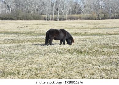 A shetland pony grazing in the meadow