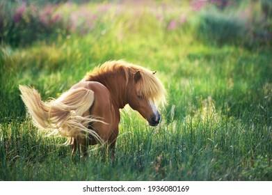 shetland  Pony on green summer pasture
