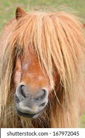 Shetland pony, portrait