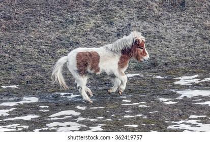 Shetland pony running through a meadow - Bansko, Bulgaria