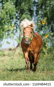 Shetland pony stallion. - Shutterstock ID 1169484415
