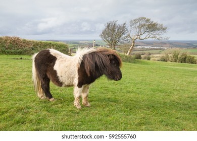 A Shetland Pony that may be a little lost as it's on Dartmoor