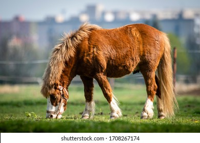Shetland pony, U.K. Domestic horse in green pastures.