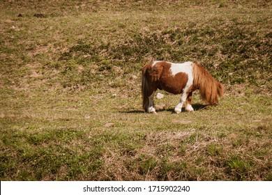 Shetland pony, U.K. Domestic horse in green pastures
