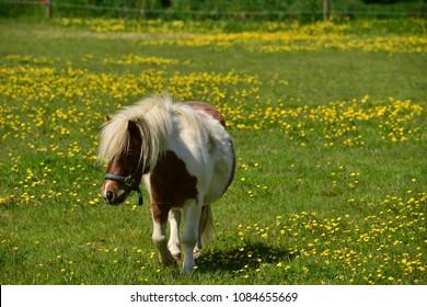 Shetland pony, U.K. Horse in Spring pasture.