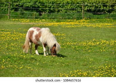 Shetland pony, U.K. A horse in Spring pastures.