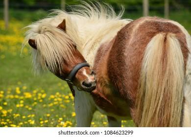 Shetland pony, U.K. Scratching horse on Spring pastures.