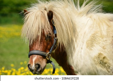 Shetland pony, U.K. Small cute horse in Spring pastures.