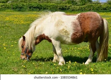 Shetland pony, U.K. Small horse on green Spring pastures.