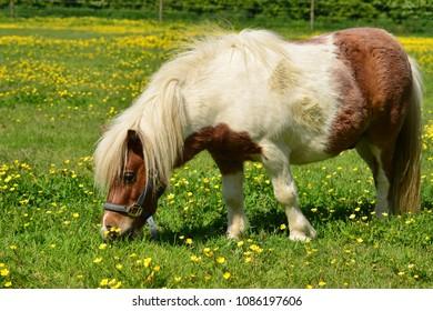 Shetland pony, U.K. Telephoto image of a horse on spring pastures.