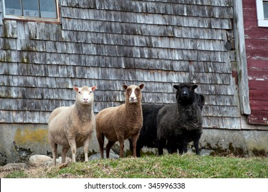 Shetland sheep in front of a barn